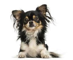 Front view of a shaggy Chihuahua lying down, isolated