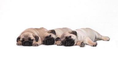 drie pug puppy op witte achtergrond
