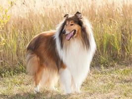 Portrait of purebred dog Rough Collie. photo