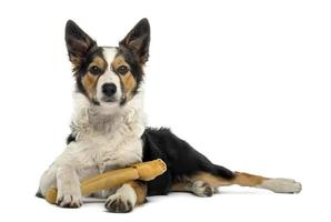 Border collie lying with a bone, isolated on white