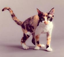 Devon Rex cat photo