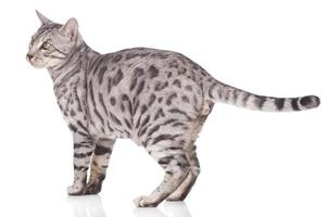 Bengal cat standing sideways photo