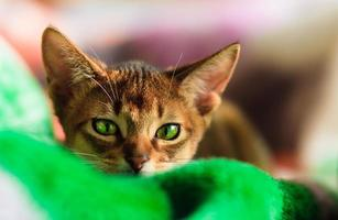 young Abyssinian cat in action photo
