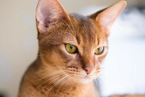 Purebred abyssinian cat photo