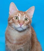 retrato de gato vermelho no azul