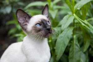 Seal point siamese cat photo