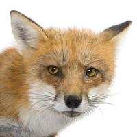 4 year old red fox on white background