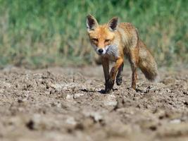 Red fox walking photo