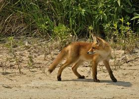 cachorro de zorro rojo