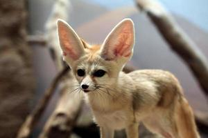 Fennec fox (Vulpes zerda). photo