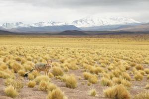 Desert Fox photo
