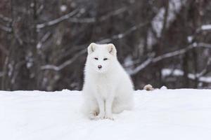 zorro ártico en invierno foto