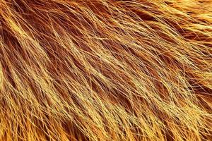 Yellow and black colored fox fur photo