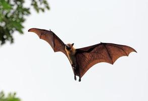 Murciélago frugívoro (zorro volador) aterrizando en el árbol foto