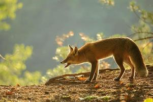 Crouched red fox in beauty autumn backlight