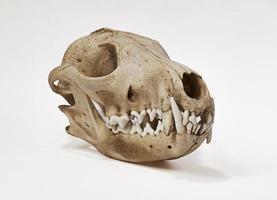 Fox skull side