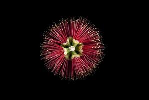 Flower red bottle brush photo