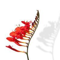 flor roja fresia floración foto