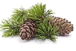 Siberian pine cones and green branches on white background