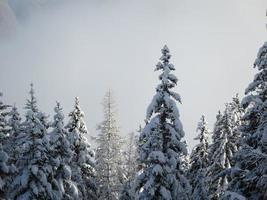pinos cubiertos de nieve foto
