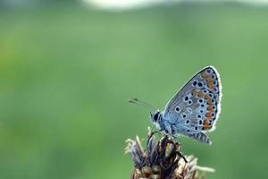 Hauhechelbläuling im Gras - Schmetterling