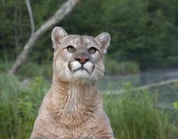 Mountain Lion Head and Shoulders