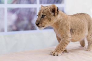 lindo cachorro de león foto