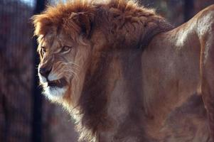 lion snarling photo