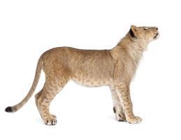 Lion cub 8 months