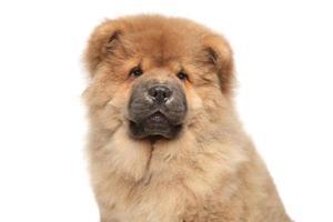 retrato de cachorro chow-chow