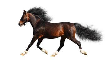 arabian stallion trots photo