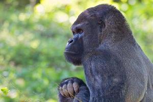Alert Lowland Gorilla