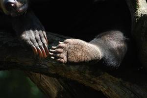 Claws of a honey bear photo