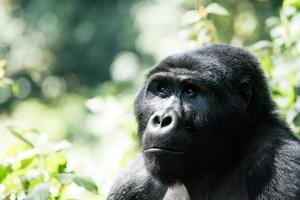Mountain Gorilla is watching for enemies photo