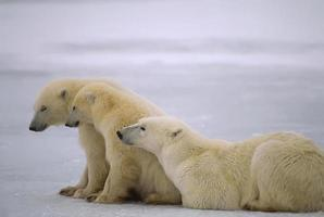 Polar bear with her sleepy yearling cubs