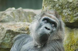 Young gorilla photo