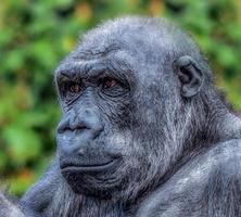 Image of a gorilla against a blurred green background photo