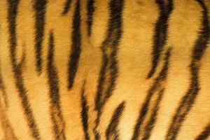 textura de piel de tigre (real)