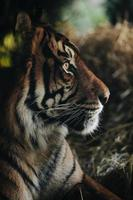 Still thinking tiger photo