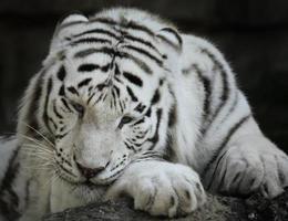 Portrait Of White Tiger