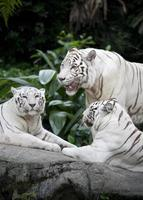 Three white tigars