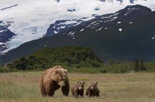madre y cachorros osos pardos foto