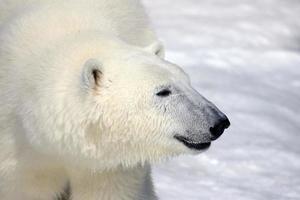 feliz oso polar foto