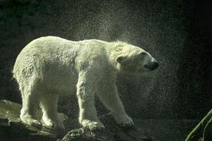 Polar bear shakes off.