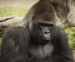 retrato de gorila olhando na frente da árvore