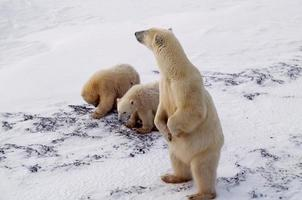 Polar bear and cubs in Canadian Arctic