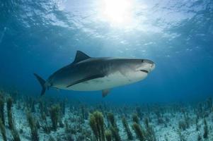 Tiger shark hunting photo