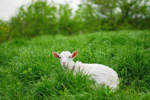 Young goat lying down