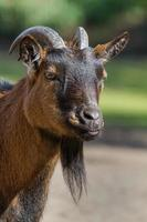 This is a photograph of the head of a goat photo
