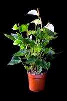 Blossoming plant of Anthurium/Flamingo flowers